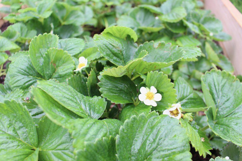 strawberries in the garden | mother of beees