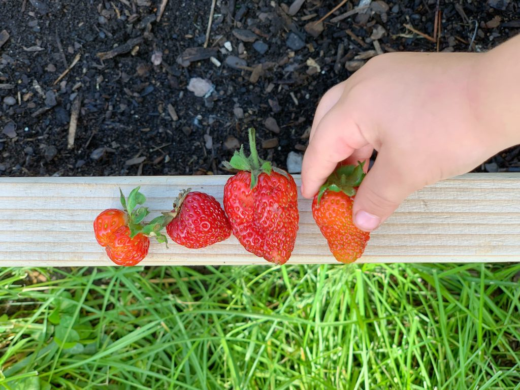 strawberries in the garden | mother of beees