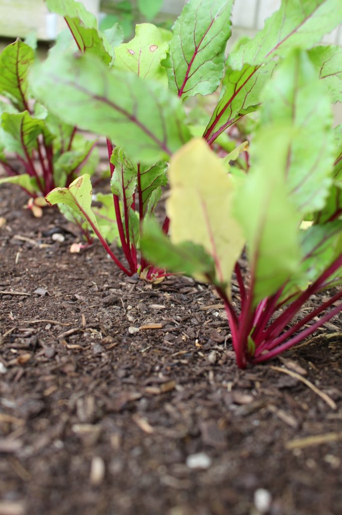 beets in the garden | mother of beees